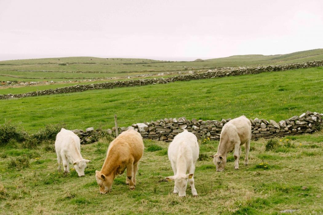 Irland Wild Atlantic Way Cow